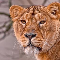 Aziatische leeuw(in)