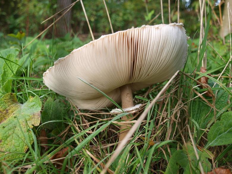 geribbelde hoed van de paddestoel - In het bos bij Amerongen hebben we prachtige paddestoelen gevonden.