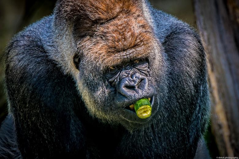 Verse groente snak  - Gorilla Bokito ,Blijdorp Rotterdam