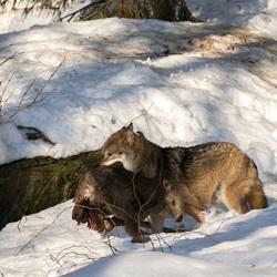 Wolf met Hert