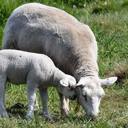 Lammetje veilig bij moeder schaap