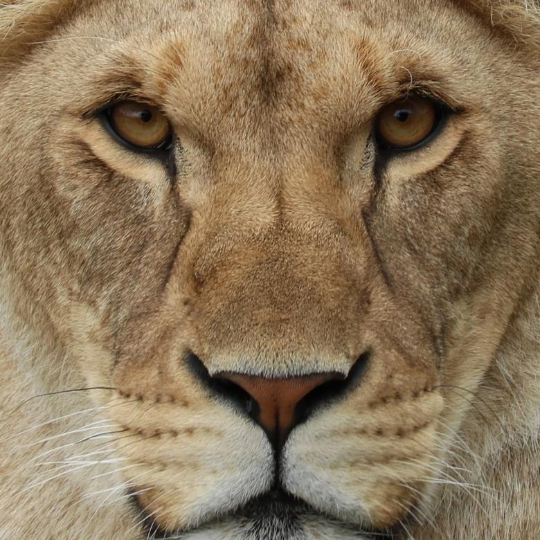 Leeuwin  - Close encounter met een leeuwin