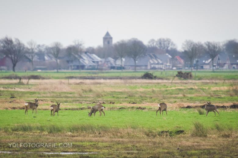 Reeën in Rouveen -
