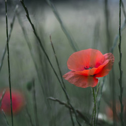 Another poppy...