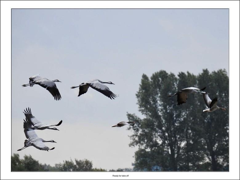 Ready for take off - Een groep kraanvogels is bezig aan de start om een nieuwe slaapplaats te zoeken.<br /> <br /> Iedereen bedankt voor de reacties