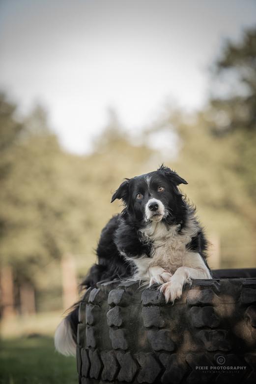 Daan (Border Collie) - Fotograferen op de hondenschool