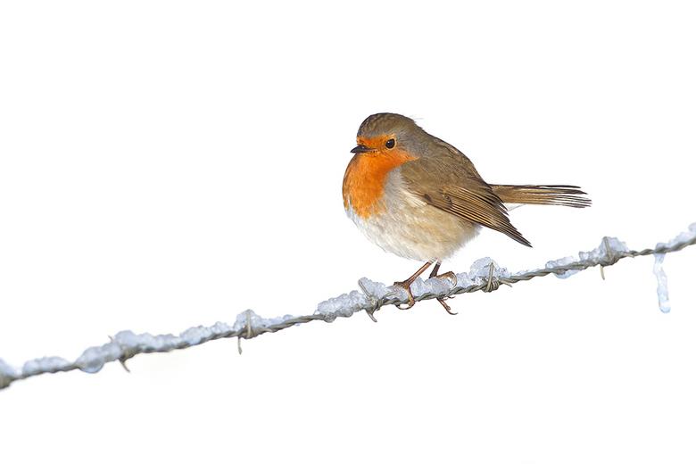 Robin on a wire! - Vorige week was het prachtig met een laagje sneew. dan kun je ook mooie highkey effecten krijgen. Dit Roodborstje wilde wel even po