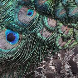 Pauwenoog