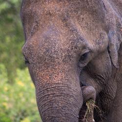 Ceylon-olifant