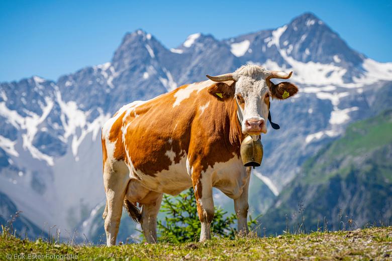 Oostenrijkse Koe - Een typische plaatje van een koe in de bergen