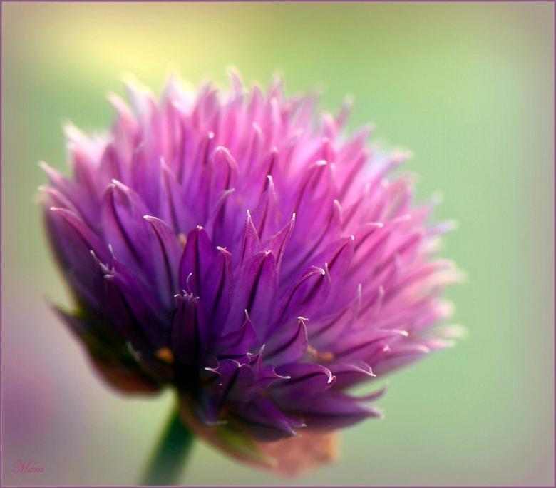 Bieslook bloemetje - Hoe mooi zo'n bieslook bloemetje eruit kan zien.