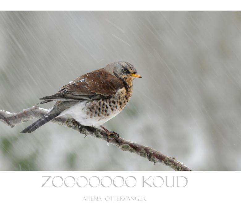 zoooooo koud - Ook deze kramsvogel had niet verwacht dat het nog een keer zooooo koud zou worden denk ik! Hij zit nog steeds in onze tuin en is steeds