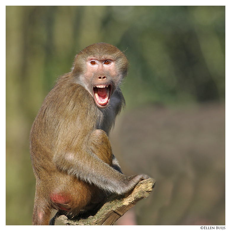 Boo! - Mantelbaviaan in dierenpark Emmen