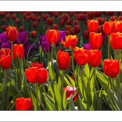 tulpen uit thailand