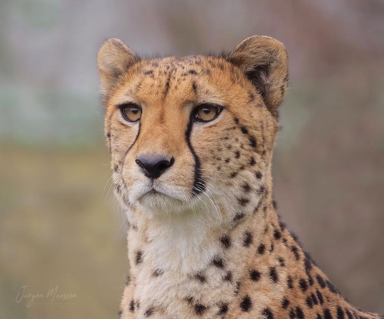 Cheetah. - Alhoewel ik het liefst in de vrije natuur ben, bezoek ik ook af en toe al eens een dierentuin.<br /> <br /> Een half uur heb ik staan wac