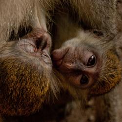 jonge aapjes bij mama
