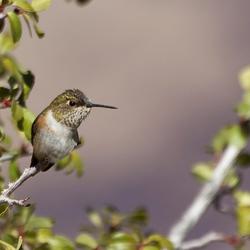 Kolibrie bij de Grand Canyon
