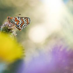 Tweekleurige parelmoervlinder (Melitaea didyma) Spotted fritillary