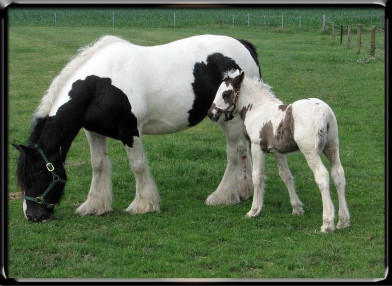 Nieuwkomer - Op de stal van boer Bér zijn er weer twee mooie veulens bijgekomen.  Prachtige diertjes.  Wil je meer weten ga dan zeker eens kijken op w