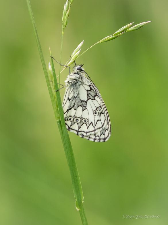 Kalkgrasland schoonheid - Hetzelfde vlindertje als eerdere upload, nu vanuit een andere hoek.<br />  Voor een mooie  vergroting, klik op de foto.