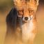 Fox Portrait II