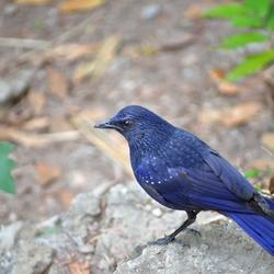 De blauwe vogel