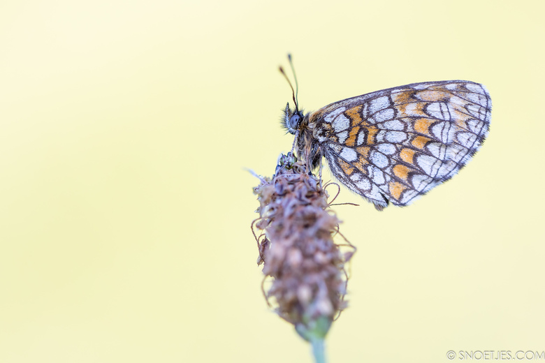 Parelmoervlinder - Prachtige parelmoervlinder bij zonsopkomst