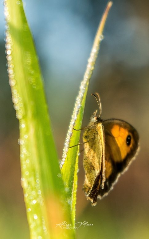 To be soft, is to be powerful  - Prachtige vlinder in het fijne zachte ochtend licht