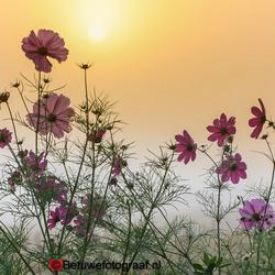 Cosmea's in de mistige zonsopkomst........