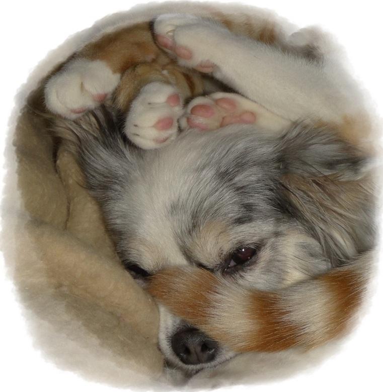 Geboren vijanden: Mijn Chihuahua Lisa en katertje Bram. - Geboren vijanden, beste vrienden. Mijn Chihuahua Lisa met staart en pootjes van mijn katertj
