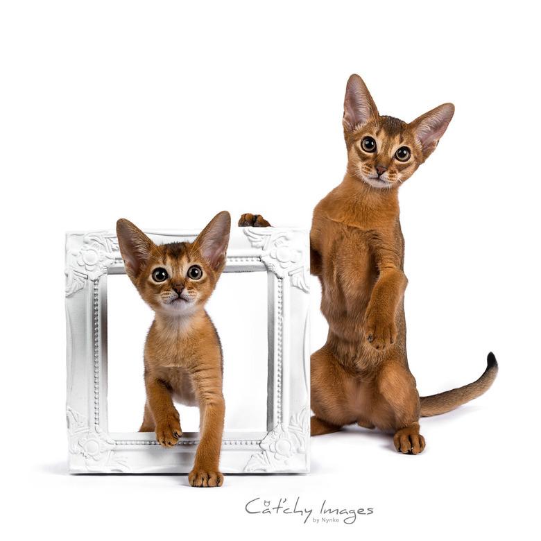 Grumeti's Kito with his younger self - Abessijn kitten Kito met respectievelijk 7 en 13 weken. Ik hoop hem over een half jaar nog een keer te kunnen f