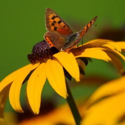 gewoon vlinder.....