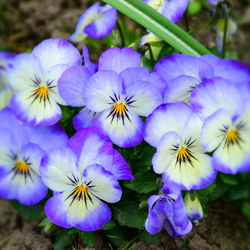 bedje van blauwe viooltjes