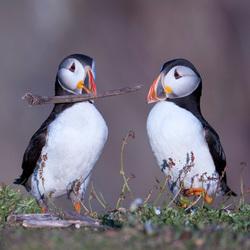 Papegaaiduiker op Skokholm Island