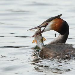Fuut met vis