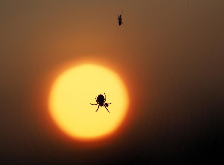 Spin met prooi . - Tegenlicht  spin met prooi van zonsondergang.<br /> Dank  jullie  wel voor fijne reactie blij mee.<br /> Groetjes Marij+<br />