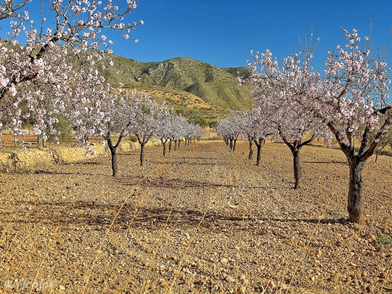 Amandelbomen. - Steeds meer bomen komen in bloei, de bergen en dalen worden al roze en wit.<br /> <br /> Bedankt voor al jullie reacties en adviezen