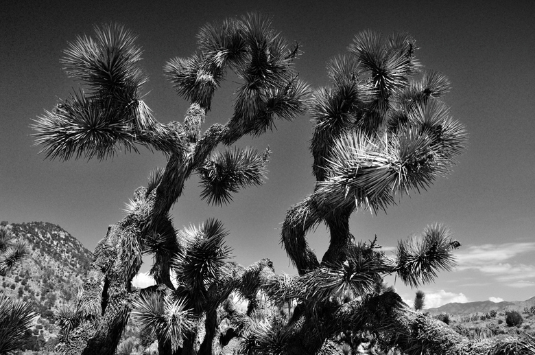 Joshua Tree - Een Joshua tree, maar dan eens zwart wit.