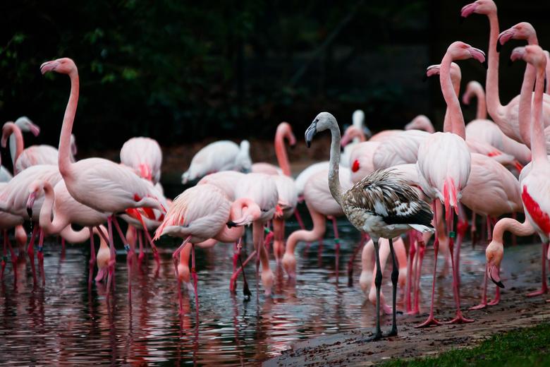 Wacht maar tot ik groot ben - Jonge flamingo's hebben nog niet de mooie roze kleur van hun ouders. Deze krijgen ze pas als ze zo'n 2 jaar ou