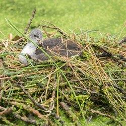 Jonge meerkoet op het nest