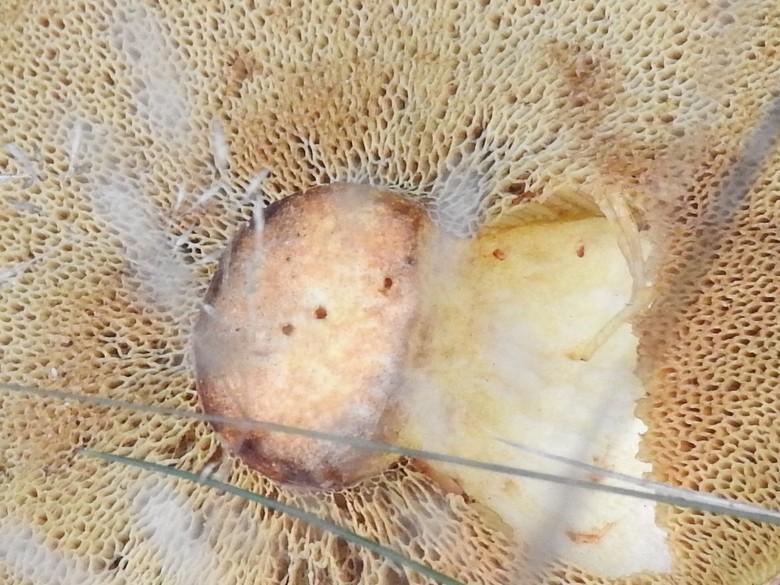 Eekhoorntjesbrood onderzijde -