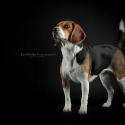 Fotoshoot Beagle