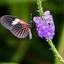 Vlinder exotische