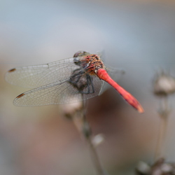 De rode heidelibel