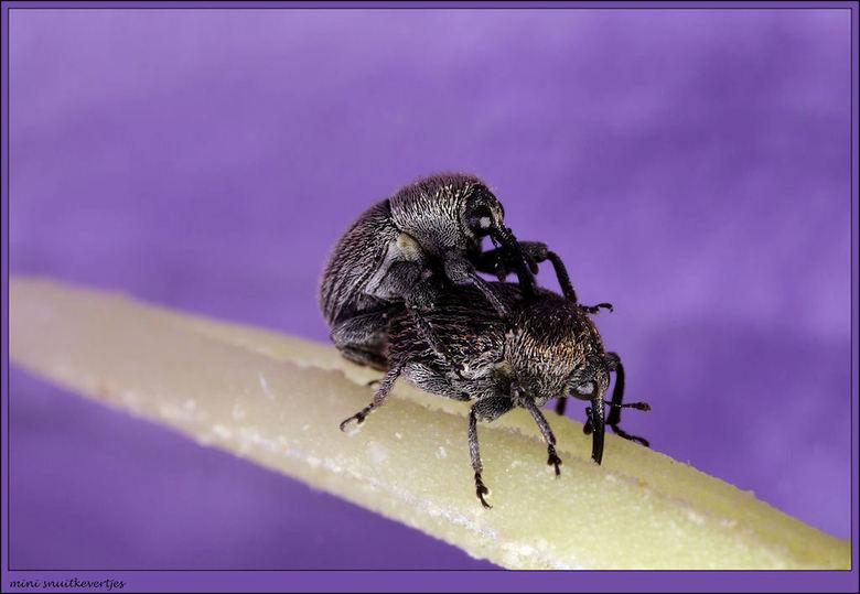 De mini snuitkevertjes zorgen voor nageslacht op de stamper van een bloem. - De mini snuitkevertjes zorgen voor nageslacht op de stamper van een bloem