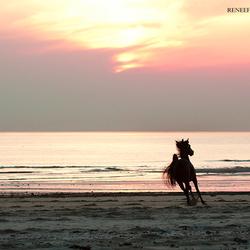 Djamal Bahir RZ.A, Arabian stallion