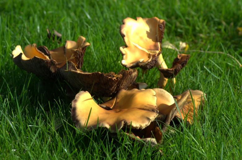 krul paddenstoelen?