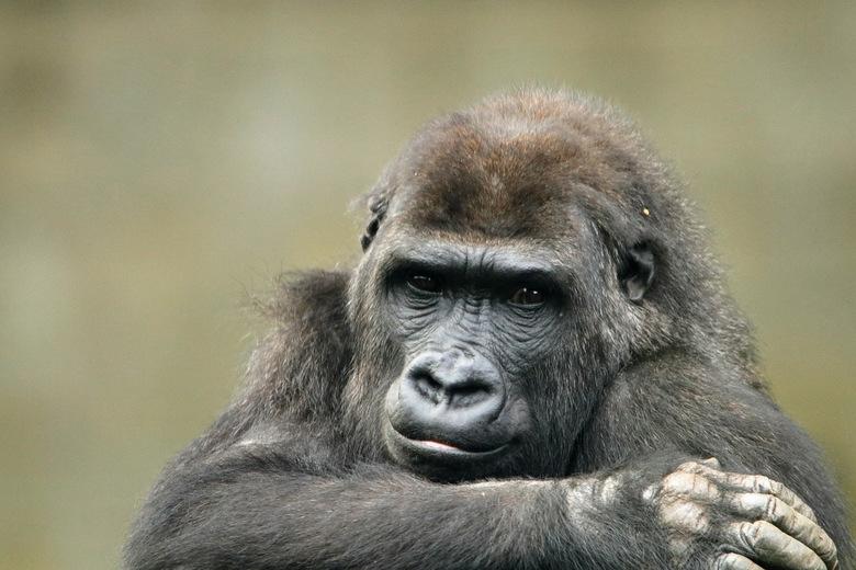 portret van de gorilla -