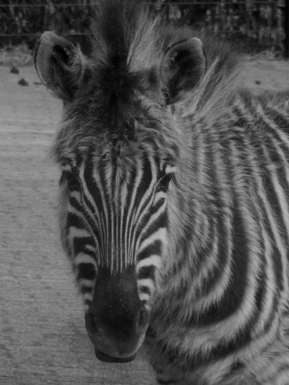 Fluffy Zeb! - Dit zebraveulen was wel érg fluffy! Toch even tijd voor een portretje in z/w!
