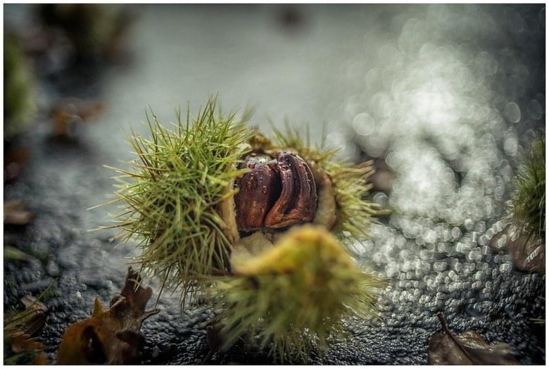 Chestnut -